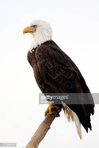 bald eagle - with white background - perching stock photos and pictures