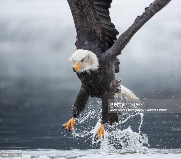 bald eagle(haliaeetusleucocephalus)catching fish - raubvogel stock-fotos und bilder
