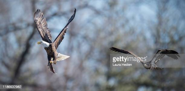 bald eagles flying by in the winter - laura rau stock-fotos und bilder