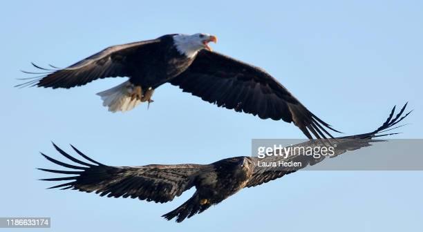30+ Bald Eagles Wallpapers  Pics