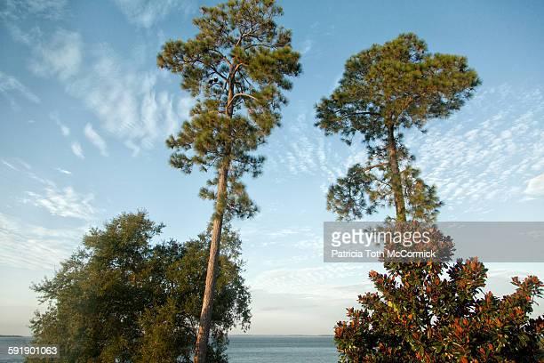 bald eagles in pine tree overlooking ocean - magnolio fotografías e imágenes de stock