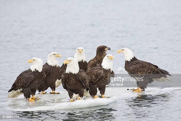 bald eagles on ice floe - home run ストックフォトと画像