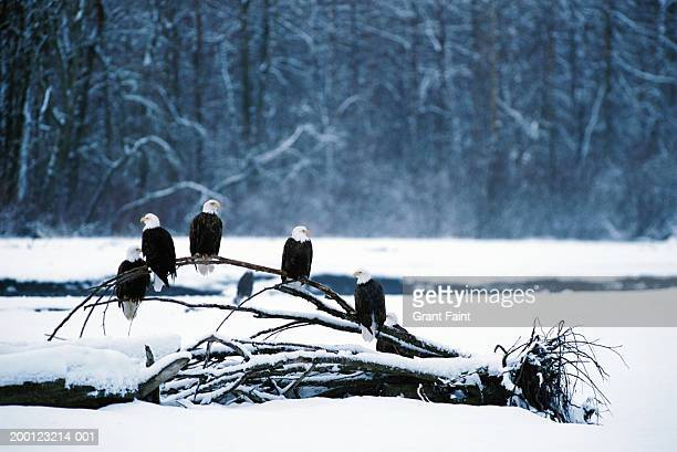 Bald eagles (Haliaeetus leucocephalus) perched on branch