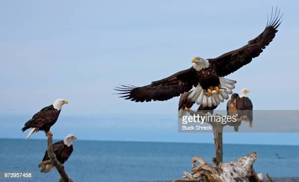 Bald eagles (Haliaeetus leucocephalus) perching on logs, Homer, Alaska, USA