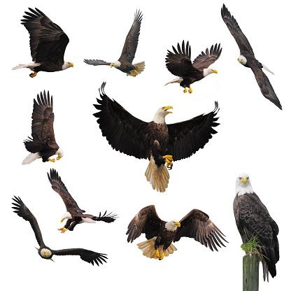 Bald eagles. 472358878