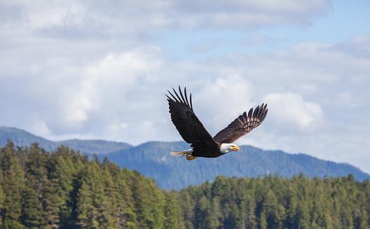 Bald Eagles 986258704