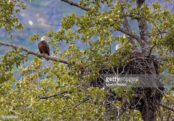 bald eagles with nest - eagle nest stock photos and pictures