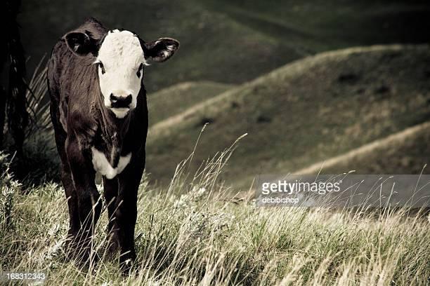 Bald Faced Angus Calf On The Montana Prairie
