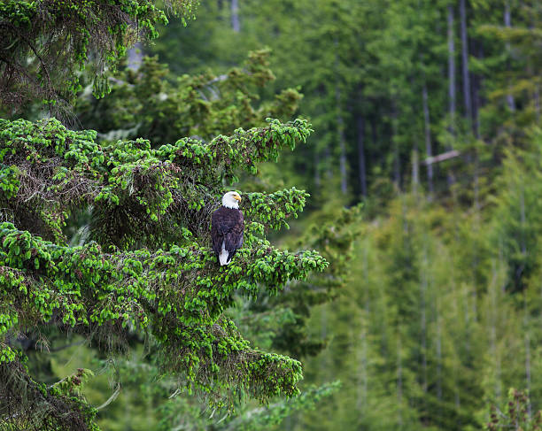 A Bald Headed Eagle Perches On A Fir Tree In The Rainforest In The Broughton Archipeligo
