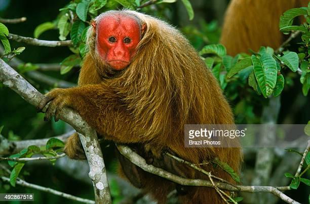 Bald uacari or red uacari monkey Cacajao calvus Amazon rainforest Brazsil