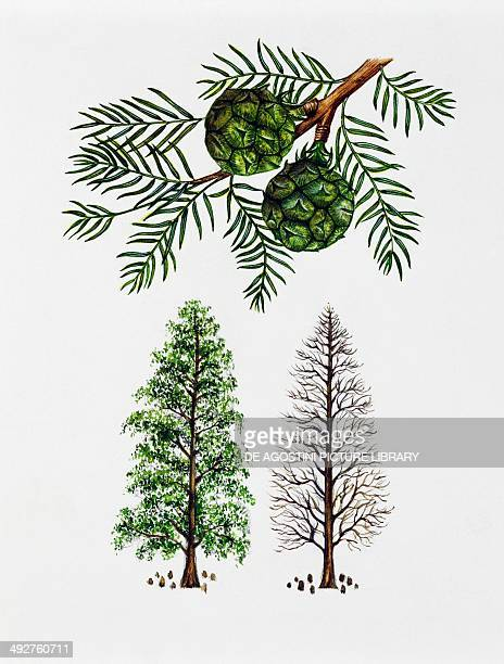 Baldcypress Cypress or Southerncypress Cupressaceae tree with and without foliage leaves and fruit illustration