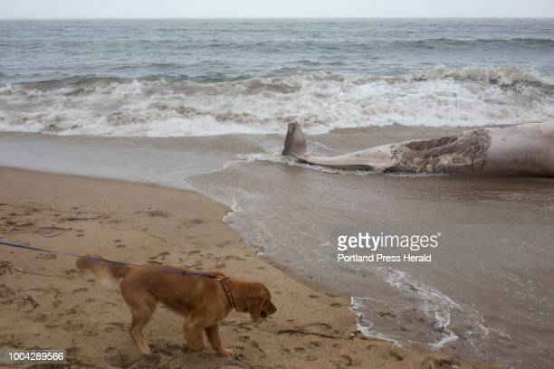 Baldwin inches closer to the decomposed carcass of a minke whale while on a walk on the beach his owner Jade Markcotte The whale washed up on the...