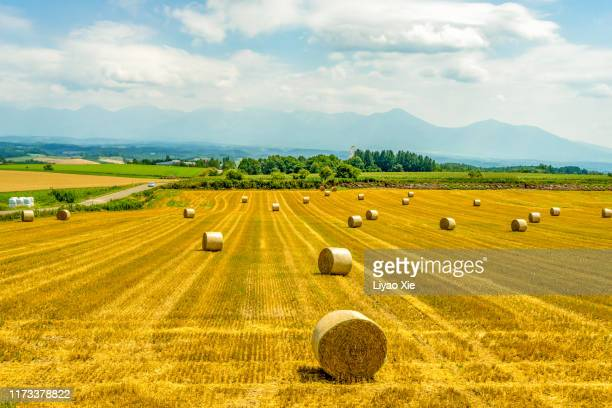 bales of hay in a field after harvesting - liyao xie stock pictures, royalty-free photos & images