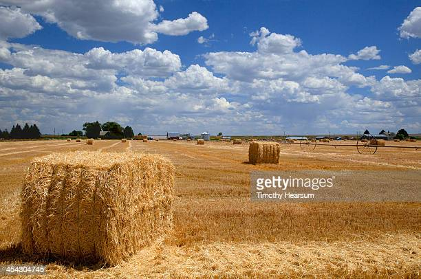 bales of wheat straw with farm buildings beyond - timothy hearsum stock photos and pictures