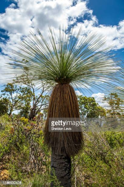 balga (xanthorrhoea preissii) or grass tree on the slopes of the darling range near perth, western australia - by sheldon levis stock pictures, royalty-free photos & images