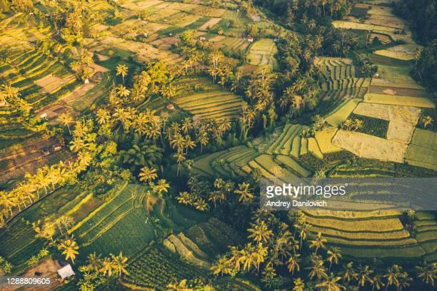 bali, luchtmening van rijst terrassen in zonsopgang. - rice terrace stockfoto's en -beelden