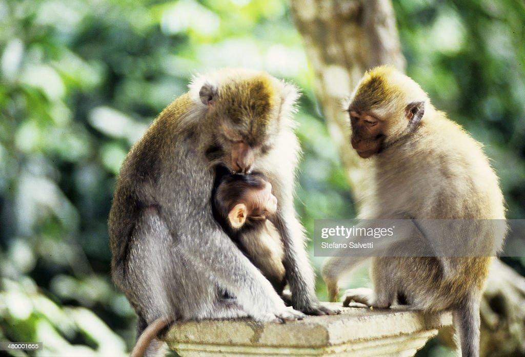 Bali Island, monkeys family : Stock Photo