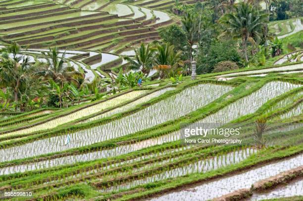 bali jatiluwih rice terrace - reisterrasse stock-fotos und bilder