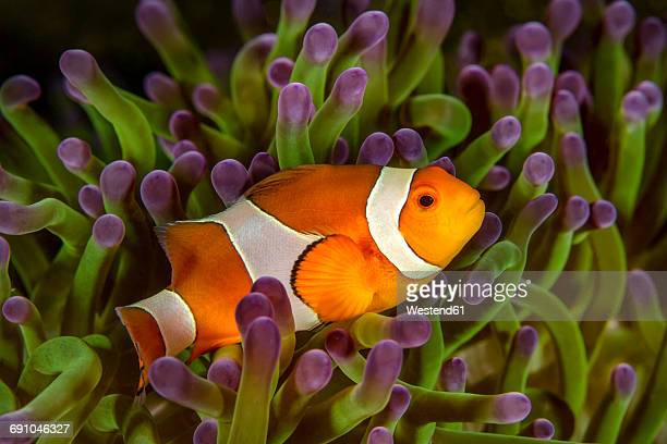 Bali, Ocellaris Clownfish in sea anemone