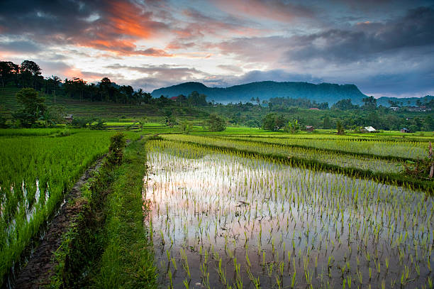 Bali Rice Field At Dawn
