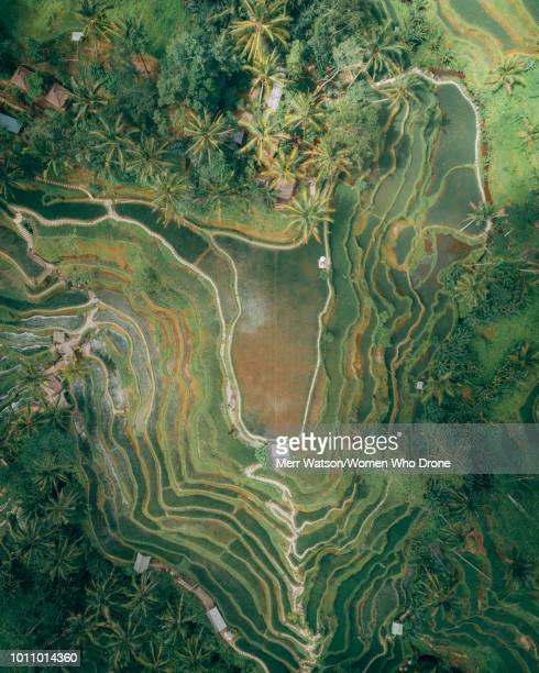 bali rice terraces - reisterrasse stock-fotos und bilder