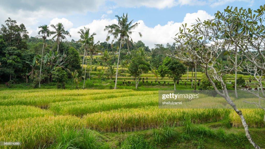 Bali ricefield : Stock Photo