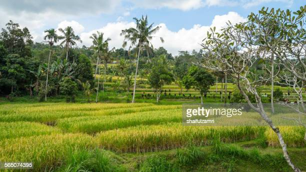 bali ricefield - shaifulzamri stock pictures, royalty-free photos & images