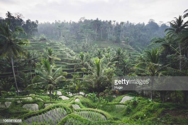 bali tegalalang - tegallalang stock photos and pictures