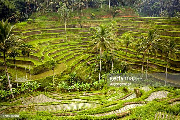 bali ubud indonesia rice paddy - tegallalang stock photos and pictures