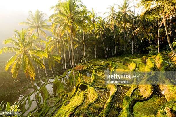 Bali Ubud Indonesien rice paddy