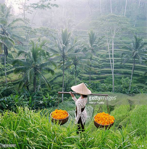 Bali, woman walking through rice terraces