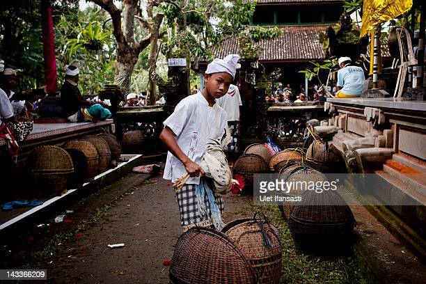Balinese boy holds his rooster during the sacred 'Aci Keburan' ritual at Nyang Api Temple on February 16 2012 in Gianyar Bali Indonesia Cockfighting...