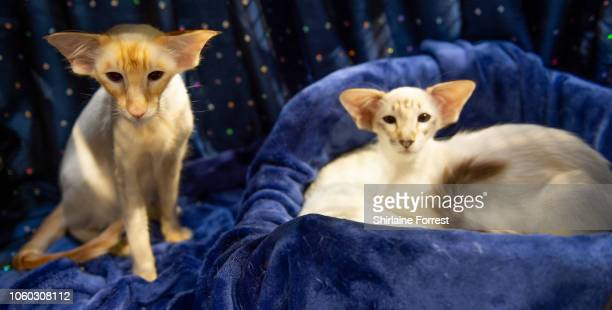 Balinese cats Pippastro Lamb-Rusco and Pippastro Red Emption participate in the GCCF Supreme Show at NEC Arena on October 27, 2018 in Birmingham,...