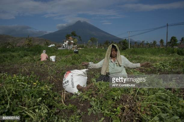Balinese farmers harvest peanuts from their field in the village of Babakan in Karangasem Regency on the Indonesian resort island of Bali on October...