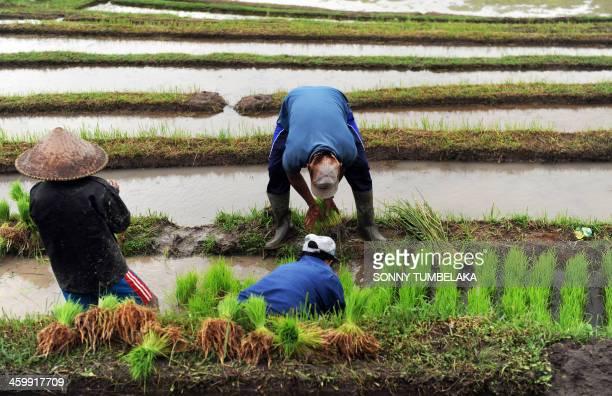 Balinese farmers prepare rice seedlings for planting at a rice terrace in Jatiluwih village in Tabanan regency in Bali on January 1, 2014. The...