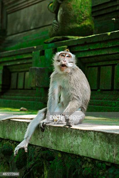 Balinese macaque monkey eats fruit at a temple in the Ubud Monkey Forest