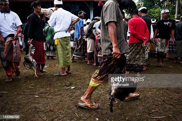 Balinese man carries dead roosters during the sacred 'Aci Keburan' ritual at Nyang Api Temple on February 12 2012 in Gianyar Bali Indonesia...