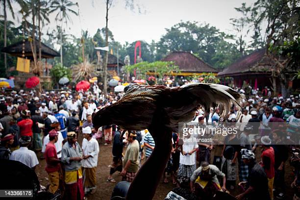 Balinese man carries his rooster as he prepares it to perform a cockfight during the sacred 'Aci Keburan' ritual at Nyang Api Temple on February 16...