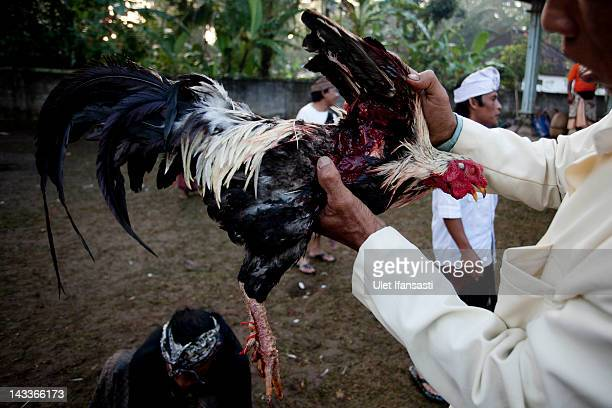 Balinese man checks the injury to his rooster caused by the 'Taji' after the match in the yard of Nyang Api Temple during the sacred 'Aci Keburan'...
