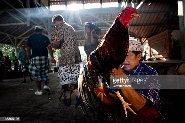 Balinese man holds his rooster as he prepares it to perform a cockfight during the sacred 'Aci Keburan' ritual at Nyang Api Temple on February 13...