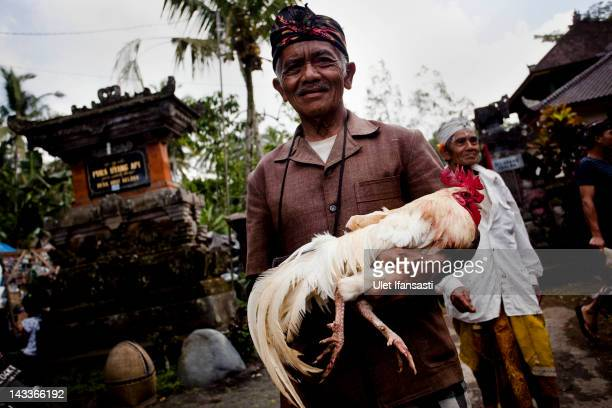 Balinese man holds his rooster during the sacred 'Aci Keburan' ritual at Nyang Api Temple on February 16 2012 in Gianyar Bali Indonesia Cockfighting...