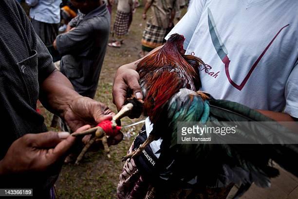 Balinese man ties a Taji on the leg of a rooster during the sacred 'Aci Keburan' ritual at Nyang Api Temple on February 16 2012 in Gianyar Bali...