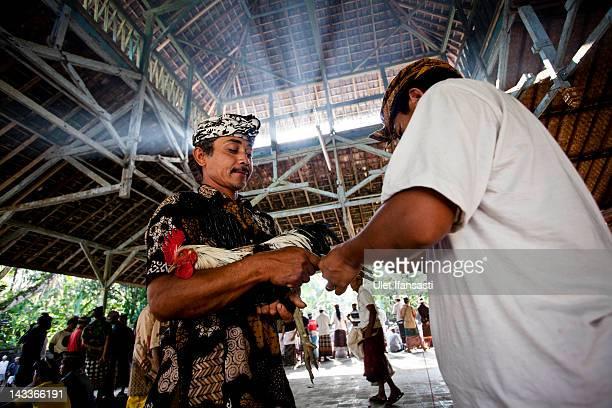 Balinese man ties a Taji on the leg of a rooster during the sacred 'Aci Keburan' ritual at Nyang Api Temple on February 13 2012 in Gianyar Bali...