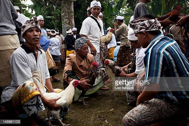 Balinese men dressed in traditional costumes hold their roosters as they search for an opponent to fight during the sacred 'Aci Keburan' ritual at...