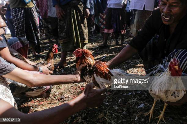 Balinese men dressed in traditional costumes looking for sparring partner roosters before fighting during the sacred Aci Keburan ritual at Nyang Api...