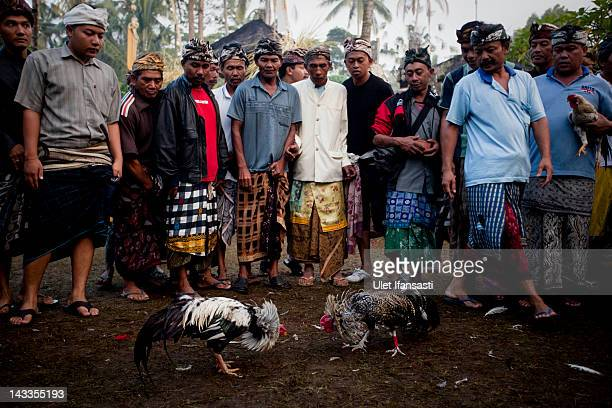 Balinese men dressed in traditional costumes watch as roosters fight each other in the yard of Nyang Api Temple during the sacred 'Aci Keburan'...