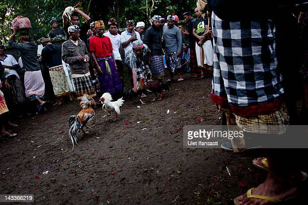 Balinese men dressed in traditional costumes watch as roosters fight during the sacred 'Aci Keburan' ritual at Nyang Api Temple on February 16 2012...