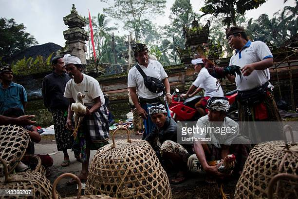 Balinese men search for roosters from traders for cockfighting during the sacred 'Aci Keburan' ritual at Nyang Api Temple on February 16 2012 in...