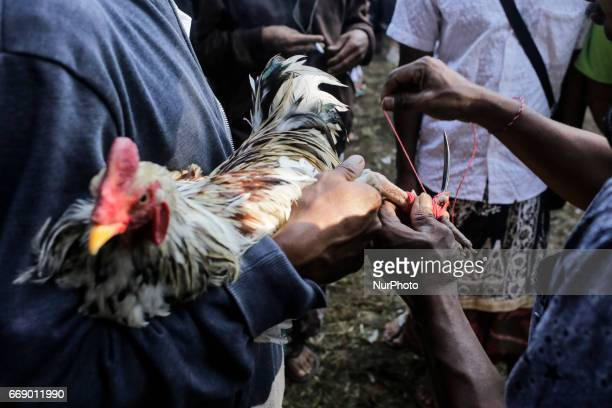 Balinese men ties a blade on a roosters before fighting during the sacred Aci Keburan ritual at Nyang Api Temple in Gianyar Bali Indonesia on on...