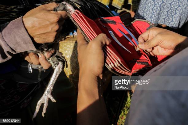 Balinese prepare his blades before putting on a roosters during the sacred Aci Keburan ritual at Nyang Api Temple in Gianyar Bali Indonesia on on...